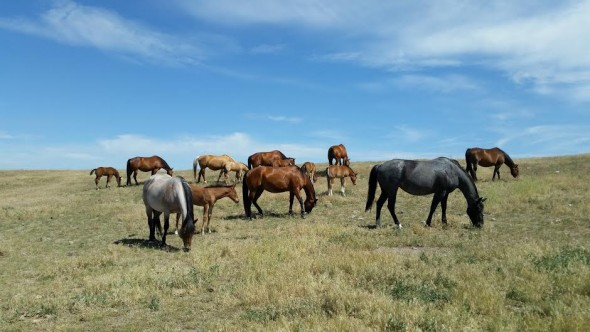 Part of the Thompson's horse herd, grazing on their summer range.