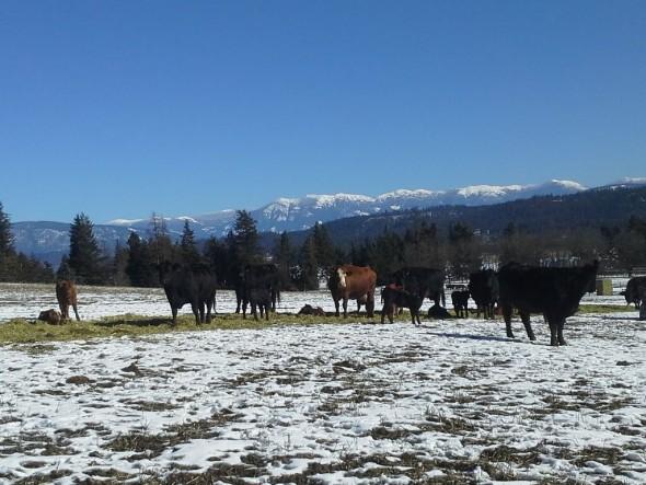 A few members of Mai's cattle herd.