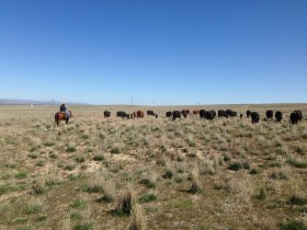 Turning out cows on public lands