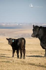 cows1-15-15_DSC_3738_blog