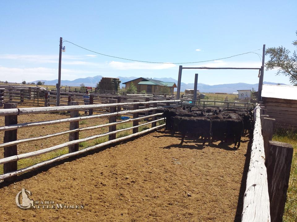 cowsincorrals_LB