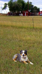 "Lacy, a dog Dawn considers to be the ""best cowdog ever,"" waiting to bring in the horses."