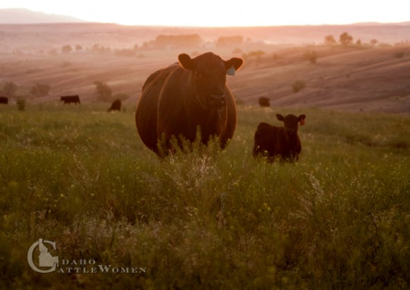 Black Angus cow and calf at sunset.