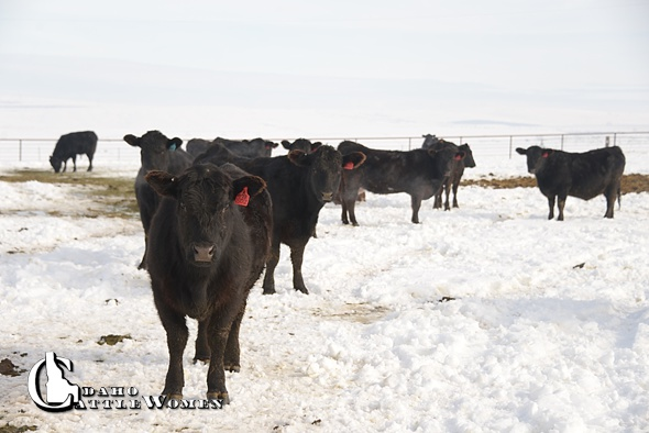 snowcattle_ICW_0013